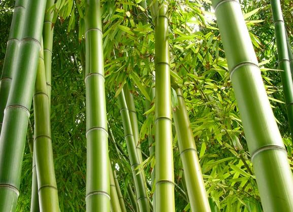 竹子的种类你知道吗?