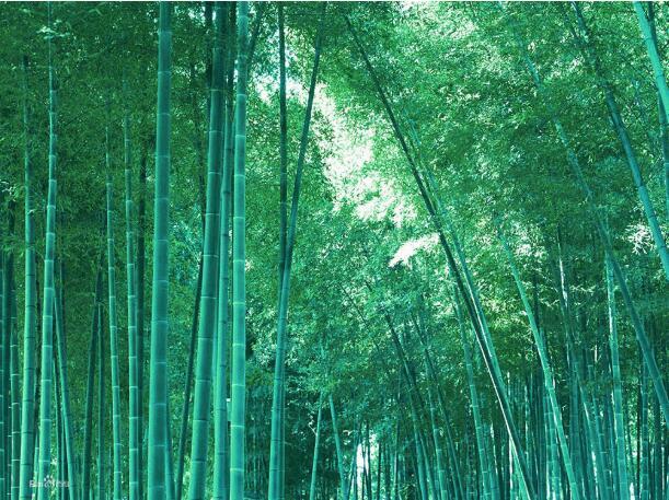 观赏竹的种植方法