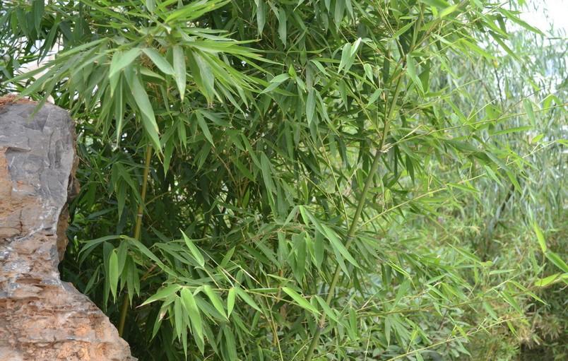 竹子的生长环境要求