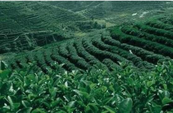 怎么样提高茶叶的产量