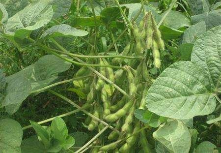 有机大豆的种植技术
