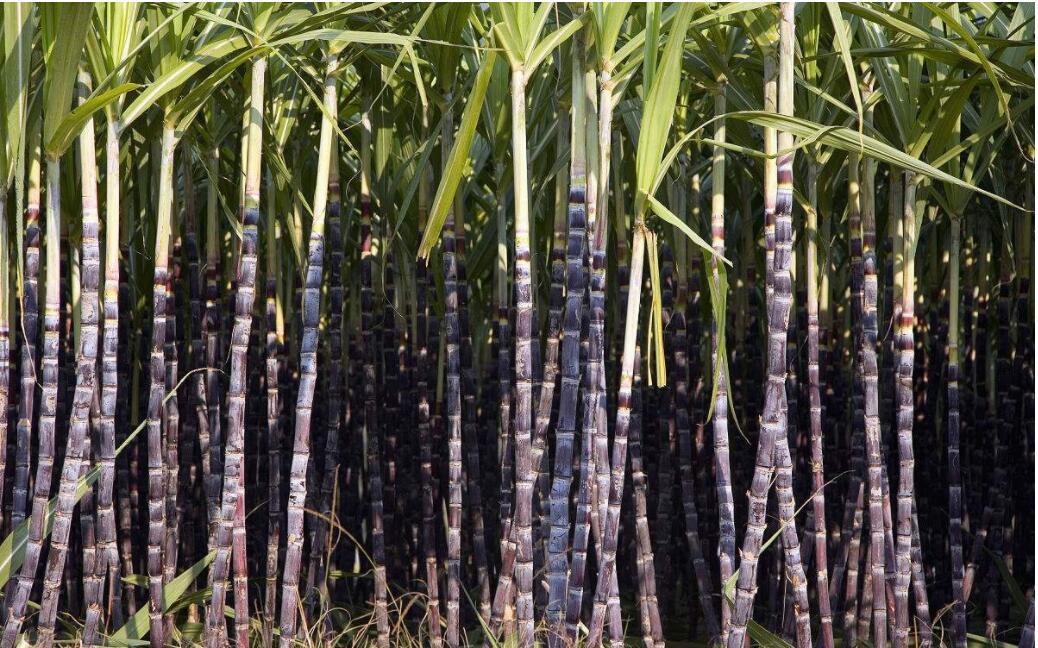 紫皮甘蔗真的有这么好吗?