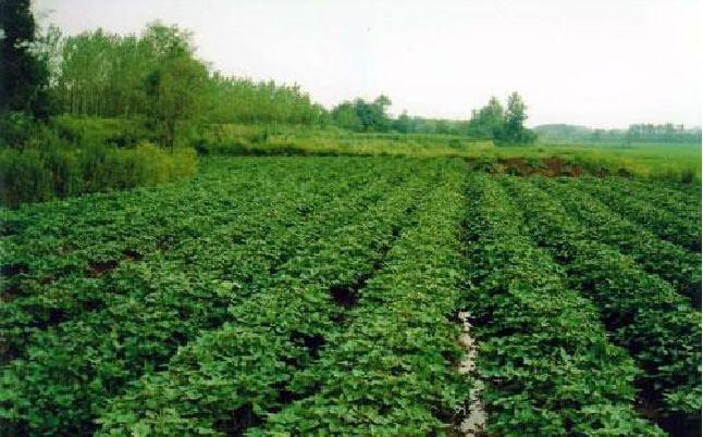 红薯地下害虫怎么样预防