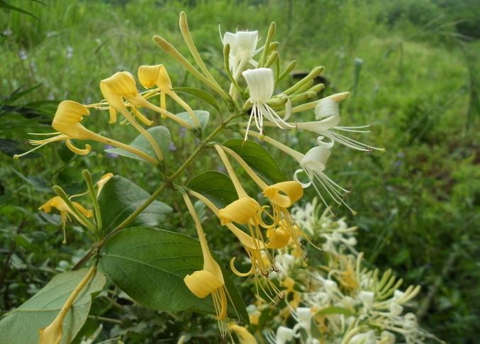 金银花的病虫害有哪些