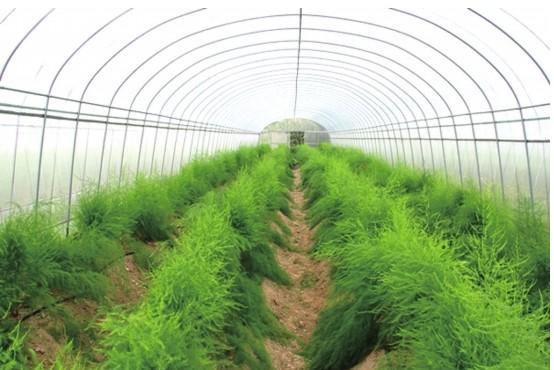 有机芦笋栽培技术
