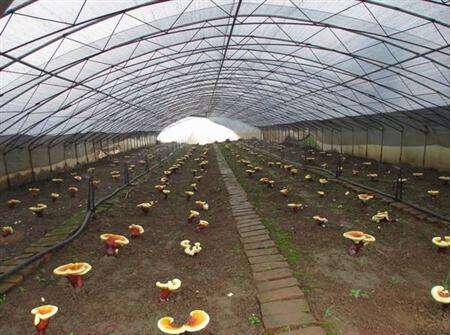 灵芝的种植条件有哪些
