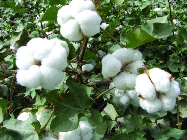 8月棉田管理措施是关键