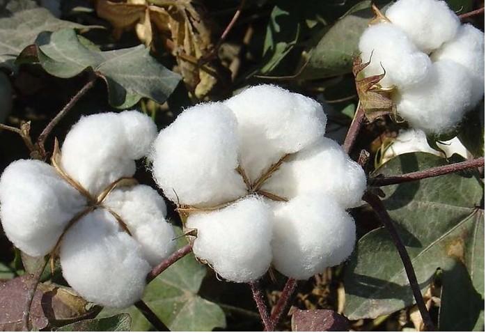 如何种植好棉花