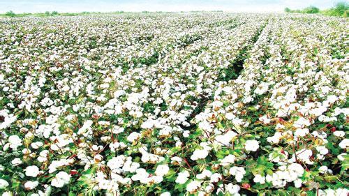 棉花红叶茎枯病症状识别及病因