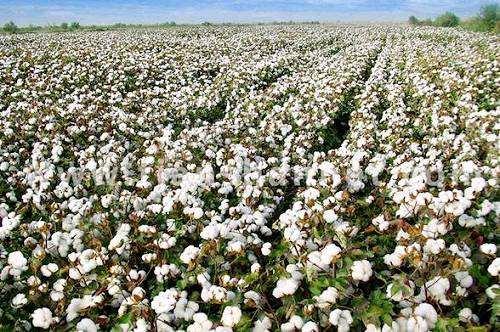 棉花育苗的技术