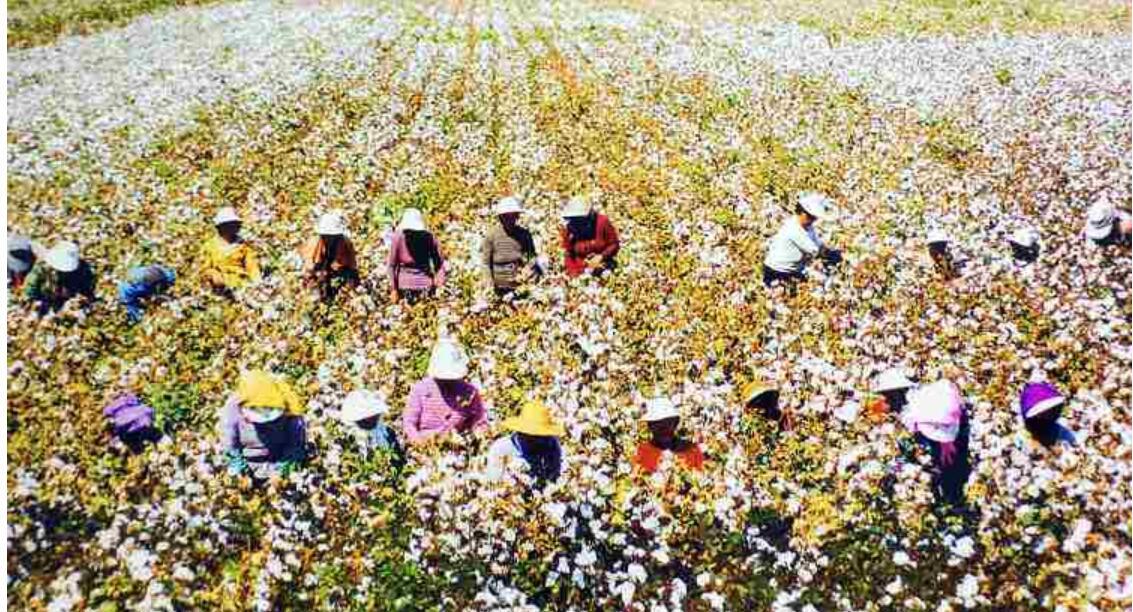 如何为提高棉花抗病能力