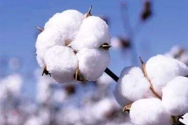 棉花花蕾期施肥技巧