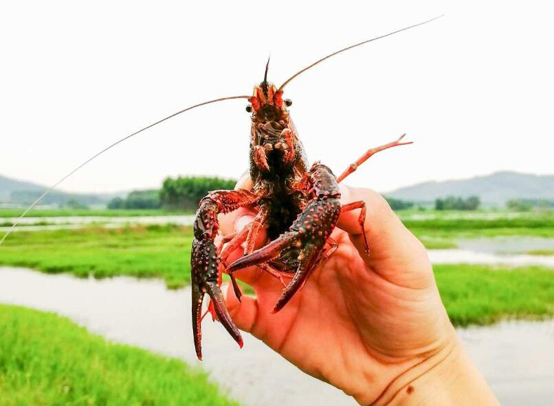小龙虾养殖怎么样防控青苔
