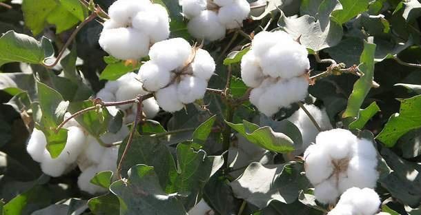 棉花红叶茎枯病防治