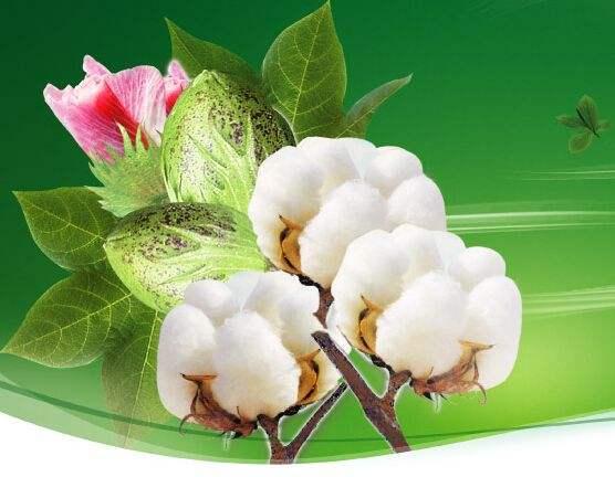 阴雨天棉花管理技术