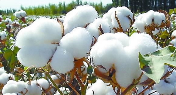 棉花苗期、蕾期和花铃期害虫的防治措施