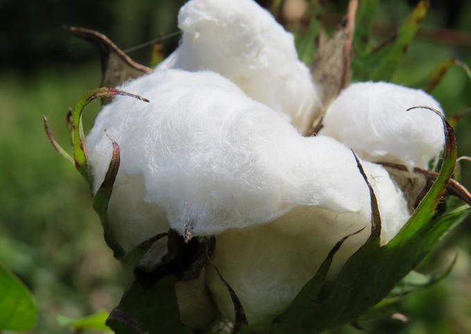 棉花早衰怎么样预防
