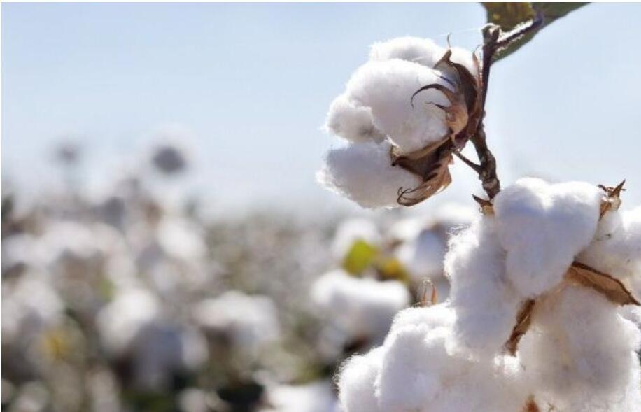 棉花机械化采收技巧