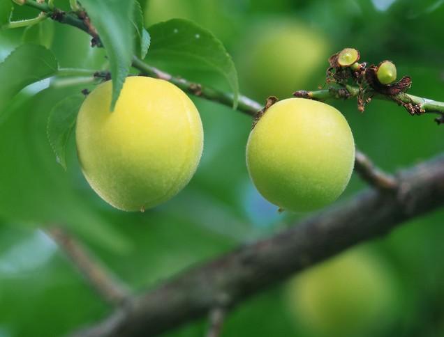 桃树的种类