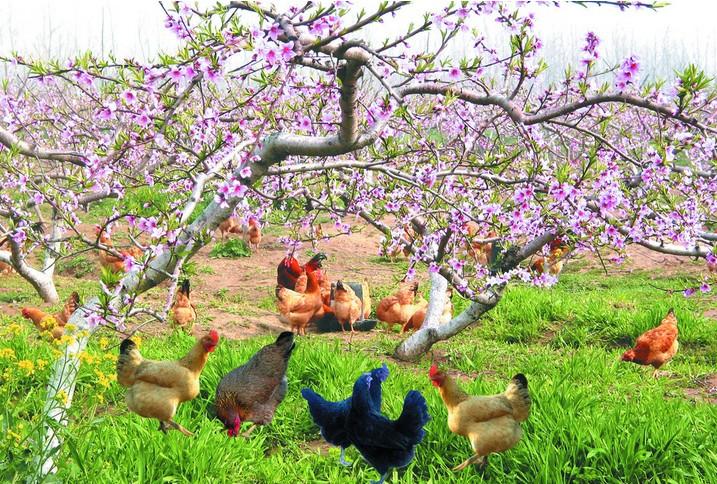 桃树缩叶病的防治