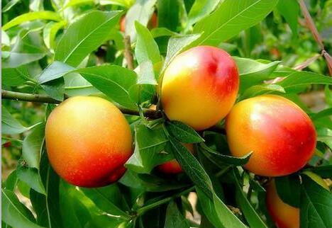 桃树叶枯病怎么样预防