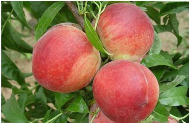 桃树根朽病预防技巧