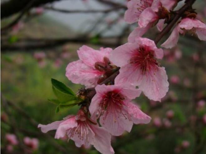 桃树舞毒蛾的特点