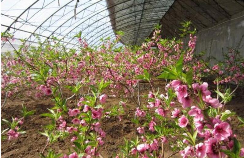 桃树红叶病如何预防