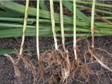 小麦纹枯病怎么样预防