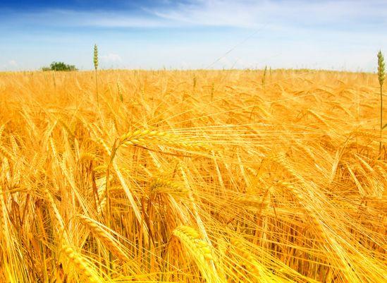 小麦湿害防治技巧